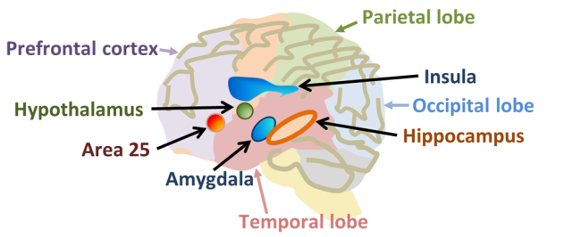 Some_brain_areas